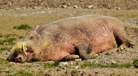Afrykański pomór świń coraz bliżej [Aktualizacja]
