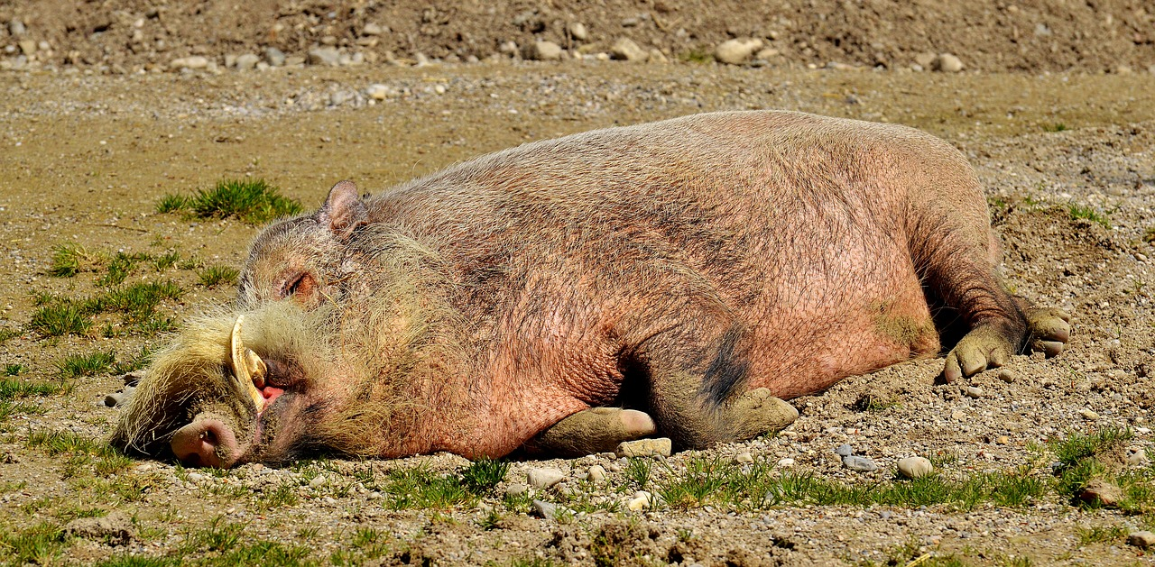 Photo of Afrykański pomór świń coraz bliżej [Aktualizacja]