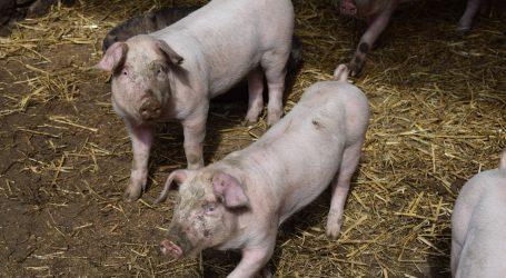 Martwe świnie w Grabicy. Podejrzenie ASF