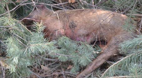 Martwa świnia w lesie. Podejrzenie ASF?