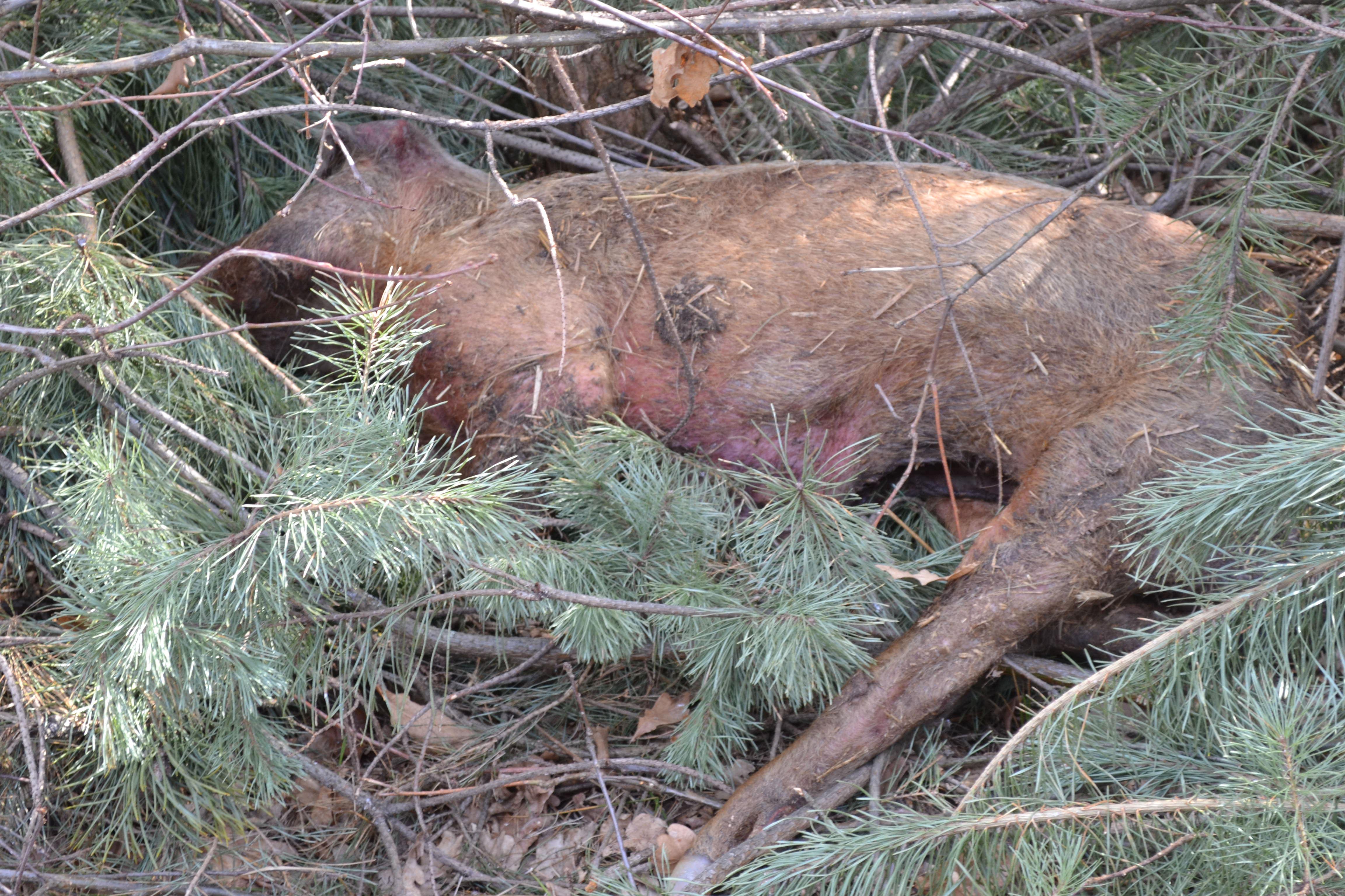 Photo of Martwa świnia w lesie. Podejrzenie ASF?