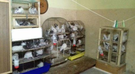 Znęcali się nad zwierzętami. 131 szczurów w ciasnych klatkach
