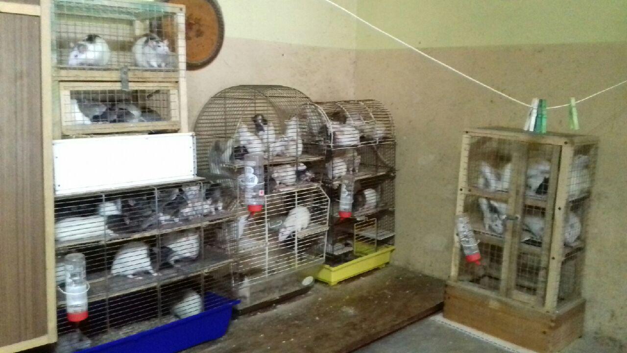 Photo of Znęcali się nad zwierzętami. 131 szczurów w ciasnych klatkach