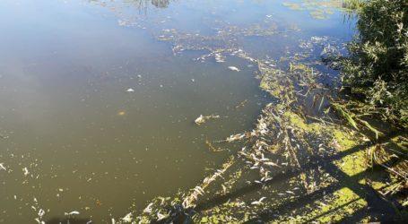 Śnięte ryby w stawie w Moszczenicy