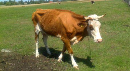 Zaniedbane krowy, cielęta i byki. Zwierzęta będą odebrane właścicielowi?