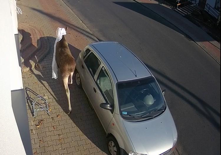 Photo of Łoś przez okno wpadł z wizytą…