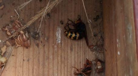 Strażacy usunęli gniazdo os. Wcześniej owady użądliły człowieka