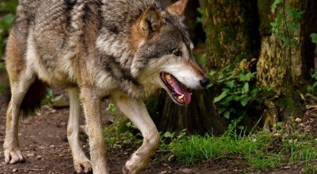 Uwaga na wilki w piotrkowskich lasach! (Drastyczne zdjęcia)