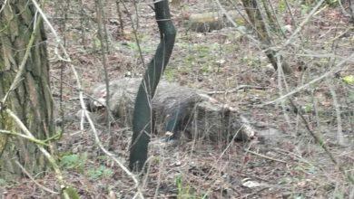 Photo of Gmina Sulejów: Martwy dzik od poniedziałku rozkładał się przy DK12