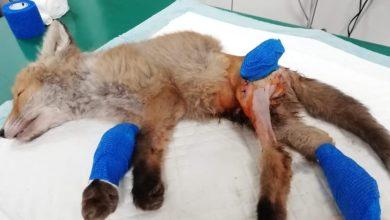 Photo of Postawią rannego liska na nogi?