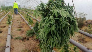 Photo of Plantacja marihuany zlikwidowana – zobacz film!