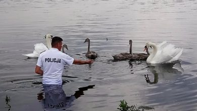 Photo of Policjanci uratowali rannego łabędzia. Zwierzę zaplątane było w żyłkę wędkarską
