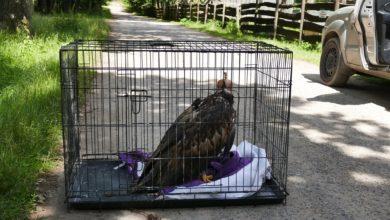 Photo of Samica bielika wypuszczona na wolność