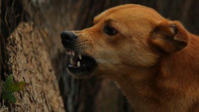 Photo of Sulejów: 5-latka pogryziona przez psa. Zwierzę nie było szczepione