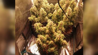 Photo of Zatrzymany 21-latek posiadał marihuanę i grzybki halucynogenne