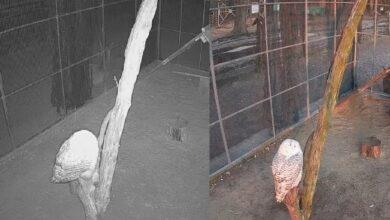 """Photo of Sprawdź """"Co w lesie huczy"""". Obserwuj on-line sowę z Osady Leśnej w Kole!"""