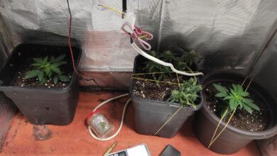 Photo of Domowa uprawa marihuany