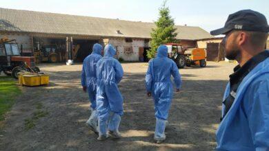 Photo of Więźniowie z piotrkowskiego Aresztu walczą z ASF