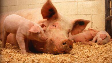 Photo of Dobre wieści dla rolników w sprawie ASF
